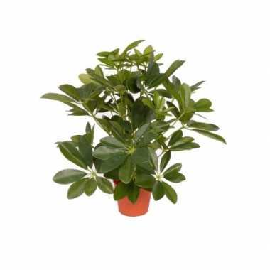Groene schefflera/baby struik kunstplant 55 cm voor binnen